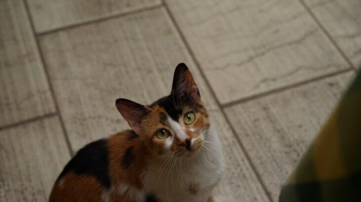 ケルキラの猫