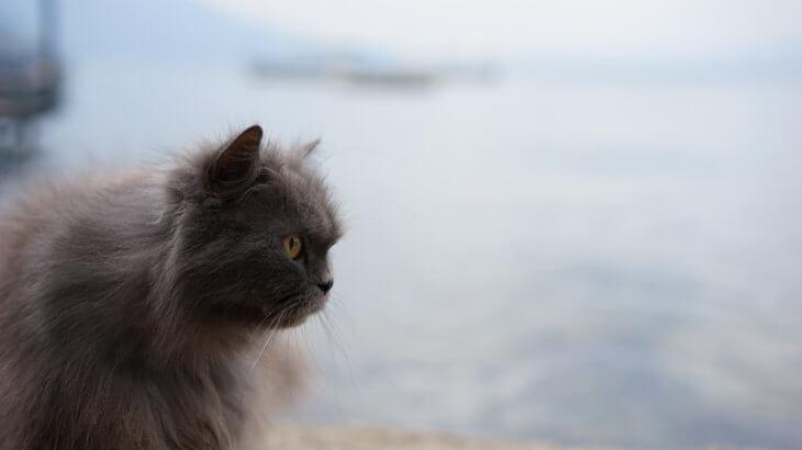 マケドニアの猫
