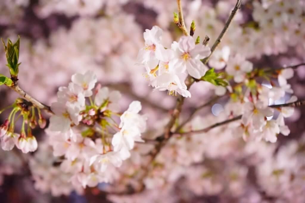 lrg dsc02054 1024x684 - 【ラトビア リガ】あの桜は、きっと今年も春を奏でる。