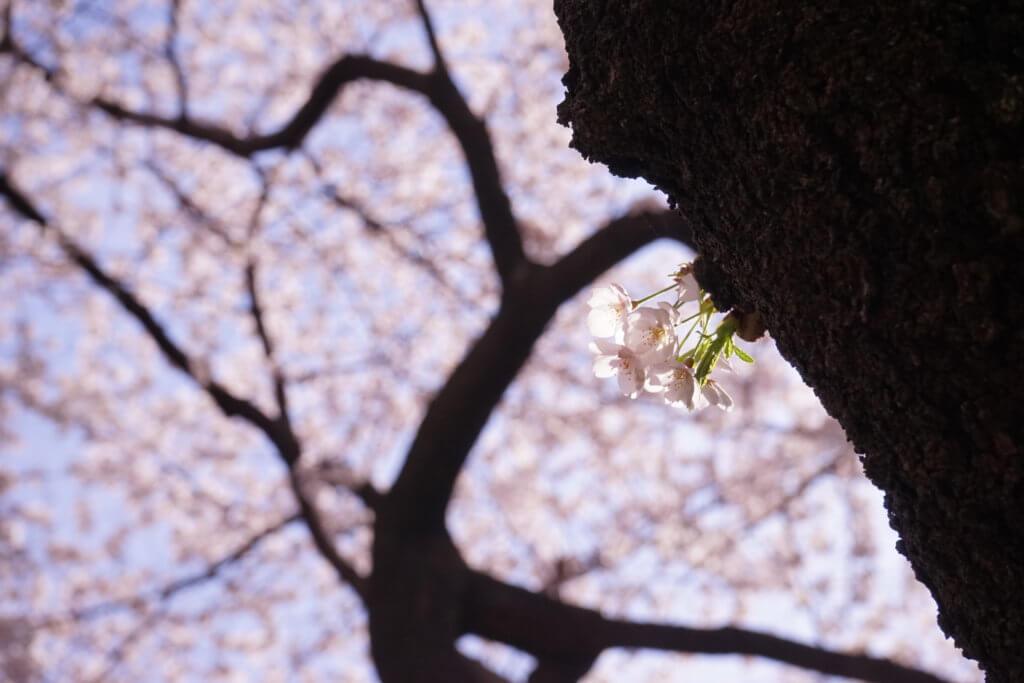 DSC01477 1024x683 - 【ラトビア リガ】あの桜は、きっと今年も春を奏でる。