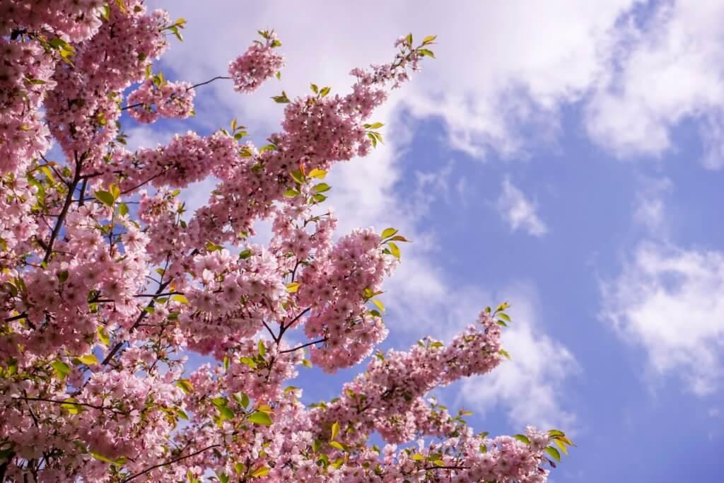 DSC02016 1024x683 - 【ラトビア リガ】あの桜は、きっと今年も春を奏でる。