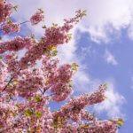 【ラトビア リガ】あの桜は、きっと今年も春を奏でる。