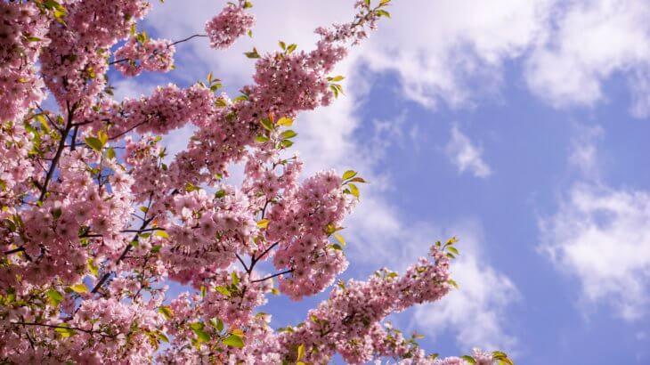 ラトビアの桜