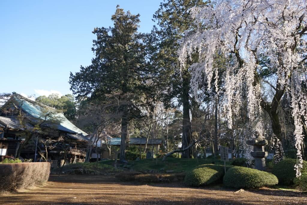 DSC02172 1024x683 - 【ラトビア リガ】あの桜は、きっと今年も春を奏でる。